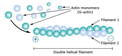 Protein pengikat aktin